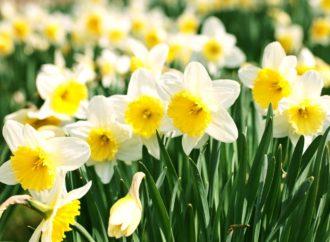 The Dewy Daffodils